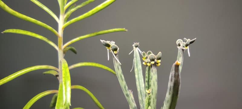 Kalanchoe tubiflora, Bryophyllum tubiflorum, Kalanchoe delagoensis