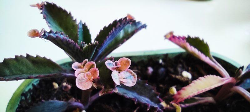 Brutblatt - Kalanchoe Pink Butterflies Pflanzen